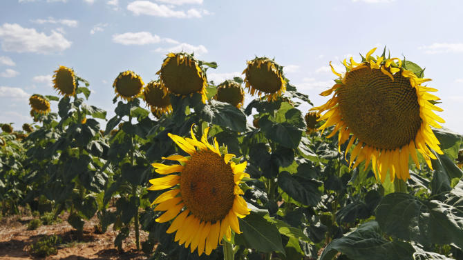 SD supplants ND as top sunflower-producing state