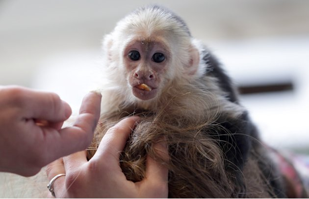 "FILE - In this April 2, 2013 file picture, Capuchin monkey ""Mally"" sits on the head of an employee in an animal shelter in Munich, Germany. Justin Bieber's pet monkey is set to become the property of"