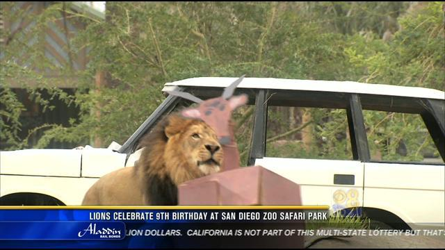 Lions celebrate 9th birthday at San Diego Zoo Safari Park