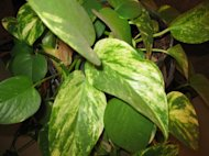 Pothos-easy to grow.
