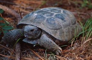 The St. Joe Community Foundation and The St. Joe Company Join Alliance to Protect and Preserve Gopher Tortoise in NW Florida