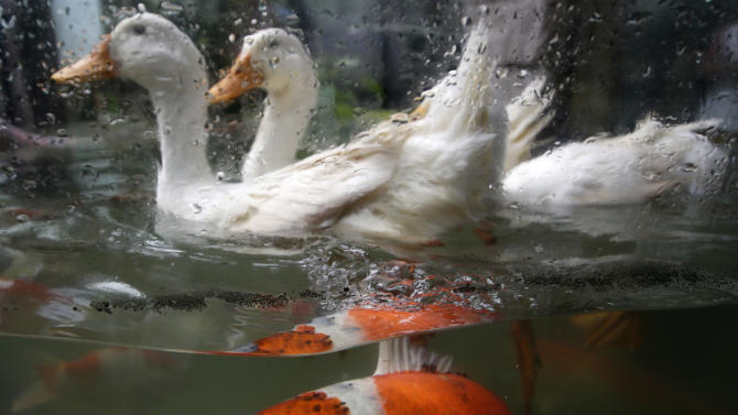 Japanese Koi carp swim as ducks paddle above them in a new attraction at the Malabon Zoo Friday, Aug. 22, 2014 at Malabon city, north of Manila, Philippines. Zoo owner Manny Tangco said he added in his collection the Japanese Koi carp to pay tribute to the thousands of Overseas Filipino Workers for their perseverance and sacrifice in working abroad. Tangco claimed the Koi carps symbolize perseverance. (AP Photo/Bullit Marquez)
