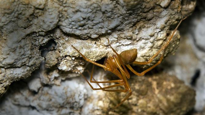 This 2010 photo from a cave outside Grants Pass, Ore., shows a specimen of a new family of spiders, which scientists are calling Cave Robber (Trogloraptor marchingtoni ) for its fearsome claws. Amateur cave explorers sent specimens to the California Academy of Sciences, where scientists decided it was so evolutiionarily different that they had to create a whole new family to put it in. The discovery is described in an article published Friday, Aug. 17, 2012 in the online edition of the journal Zookeys. (AP Photo/Brent McGregor)