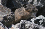 This image provided by Stanford University biologist Scott Loarie, shows an American Pika in Aug. 2008 in Desolation Wilderness in El Dorado County, Calif., near Lake Tahoe. Animals across the world are fleeing global warming by moving north and up twice as fast as they were less a decade ago, a new study says. About 2000 species examined are moving away from the equator at an average rate of more than 15 feet per day, about a mile per year, according to a giant study of new and old research in the journal Science published Thursday. Species are also moving up mountains to escape the heat, but more slowly, averaging about four feet a year. (AP Photo/Scott Loarie)