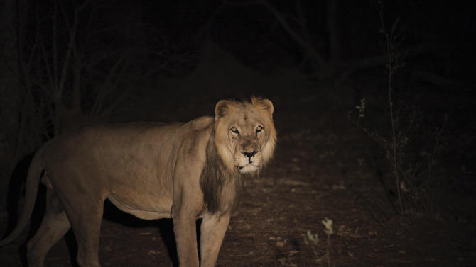 Male lion pauses in Senegal's Niokolo-Koba National Park in this undated handout picture