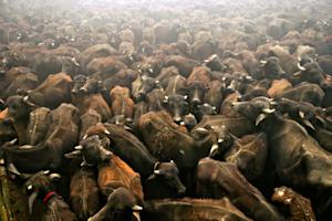 Sacrificial buffaloes stand in a holding pit before…
