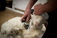 <p>This file photo shows a competitor shearing a sheep during a competition in Alexandra, New Zealand, in 2011. N.Zealand's economy grew at its fastest rate in five years in the March quarter, boosted by strong performances in the farming and manufacturing sectors, according to the latest data.</p>