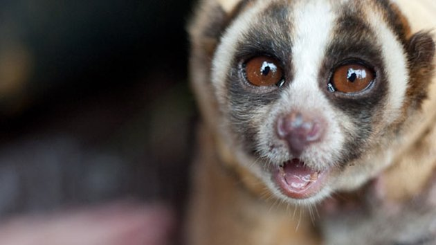 Slow Loris: Endangered for Being Cute (ABC News)
