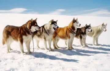 The sled dogs in Walt Disney Pictures' Eight Below