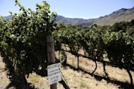 <p>A vineyard is pictured in Franschoek on March 19, 2011. South African firefighters battled on Monday to contain a runaway fire in the country's picturesque wine lands, one of several blazes raging in the Western Cape in which one person has died.</p>