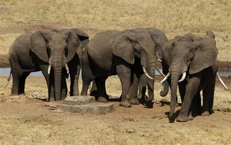 Elephants can gauge threat from human voices, study finds