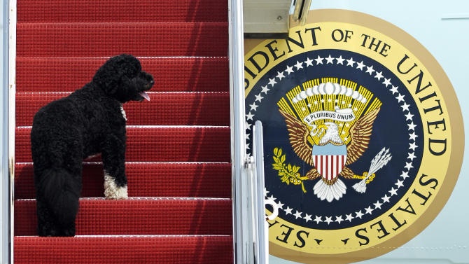 FILE - This Aug. 4, 2010 file photo shows presidential pet Bo climbing the stairs of Air Force One at Andrews Air Force Base, Md. for a flight to Chicago with President Barack Obama. Dallas author Jennifer Boswell Pickens interviewed everyone from first family members to White House staffers to give readers a glimpse at what life is like at 1600 Pennsylvania Ave. for pets and what those pets have meant to their famous owners. (AP Photo/Cliff Owen)