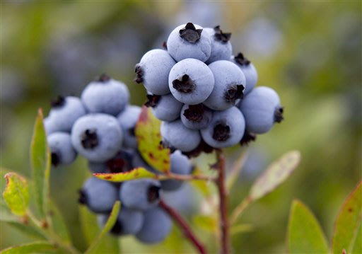 In this photo made Friday, July 27, 2012, wild blueberries are ready for harvesting at the Dolham Farm in Warren, Maine. The state's wild blueberry growers are expecting their biggest harvest in more 