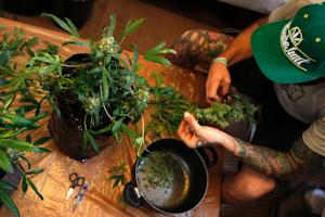 There are currently some 20,000 home growers in Uruguay,…
