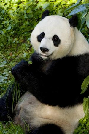 Bamboo-Munching Pandas Also Have a Sweet Tooth