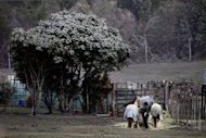Volcanic ash covers a tree (L) as a farmer (R) feeds her horses after the eruption of Mount Tongariro coated the area with ash at Rangipo in the Tongariro National Park on August 7, 2012