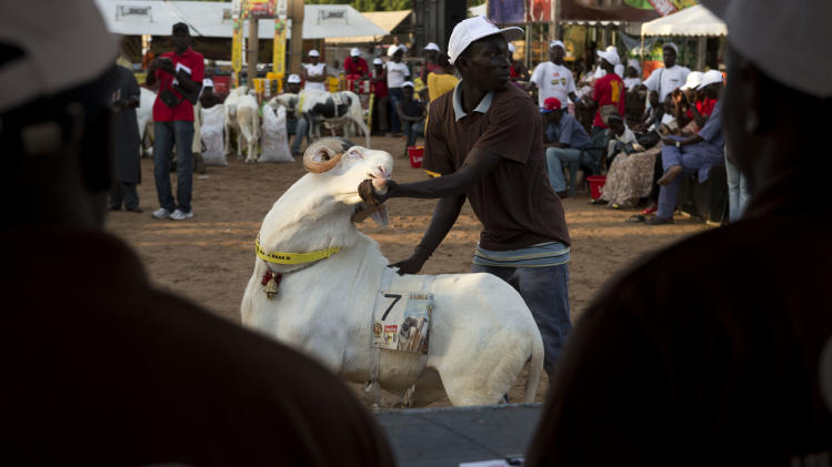 "In this Saturday, Oct. 6, 2012 photo, Dogo Ndiaye displays ram Papis General for the panel of four judges, in the Fann area regional final of the Khar Bii competition, in Dakar, Senegal. In a nation where sheep are given names and kept inside homes as companion animals, the most popular show on television is ""Khar Bii,"" or literally, ""This Sheep"" in the local Wolof language. It's an American Idol-style nationwide search for Senegal's most perfect specimen ahead of the Eid al-Adha festival, known locally as Tabaski. (AP Photo/Rebecca Blackwell)"