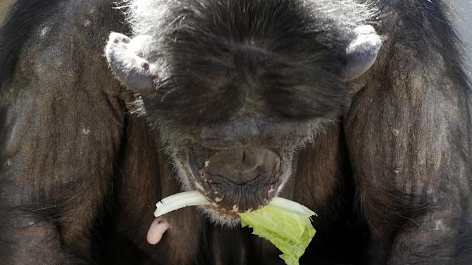 A mother chimp holds a piece of lettuce in her mouth as she carries her baby at Chimp Haven in Keithville, La., Tuesday, Feb. 19, 2013. One hundred and eleven chimpanzees will be coming from a south Louisiana laboratory to Chimp Haven, the national sanctuary for chimpanzees retired from federal research. (AP Photo/Gerald Herbert)