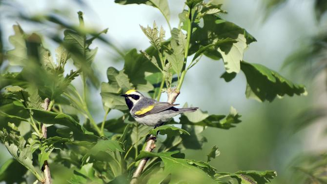 A male golden-winged warbler defends his breeding territory, in the Cumberland Mountains of Tennessee
