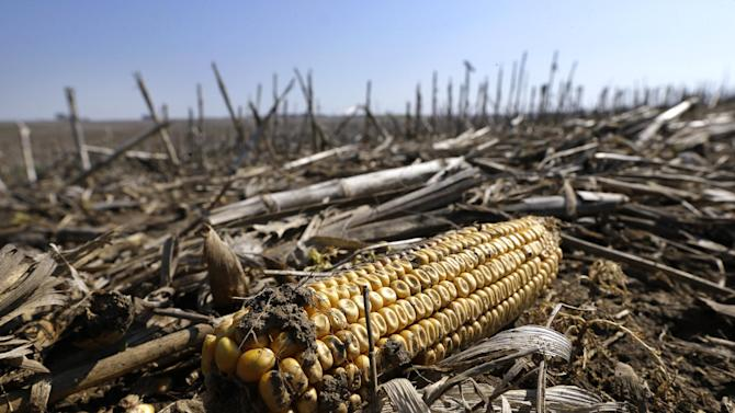 A ear of corn from last year's harvest lies in a wet field on a farm, Tuesday, May 7, 2013, near Carlisle, Iowa. The USDA's weekly crop progress report showed that just 12 percent of the nation's cornfields have been sown, about one-fourth of the typical pace over the past five years. The numbers have been even worse in the biggest corn-producing state, Iowa, where only 8 percent of the corn crop is in the ground, down from 62 percent the same time last year. The USDA says it's the slowest planting pace since 1995 in Iowa, which was socked by a snowstorm last week. (AP Photo/Charlie Neibergall)