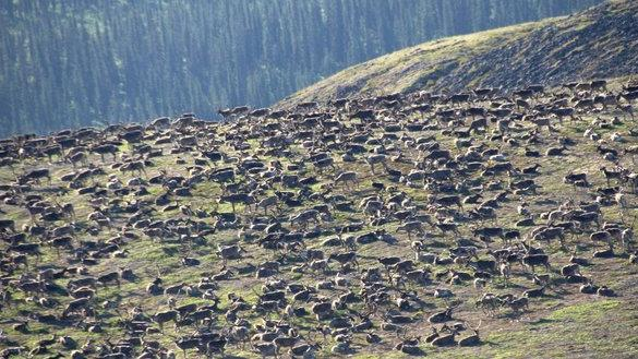 Photos: 300,000 Caribou Huddle Together To Avoid Insects