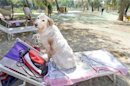 Dog sits on a sun chair at a beach for dogs on the Tiber river in Rome
