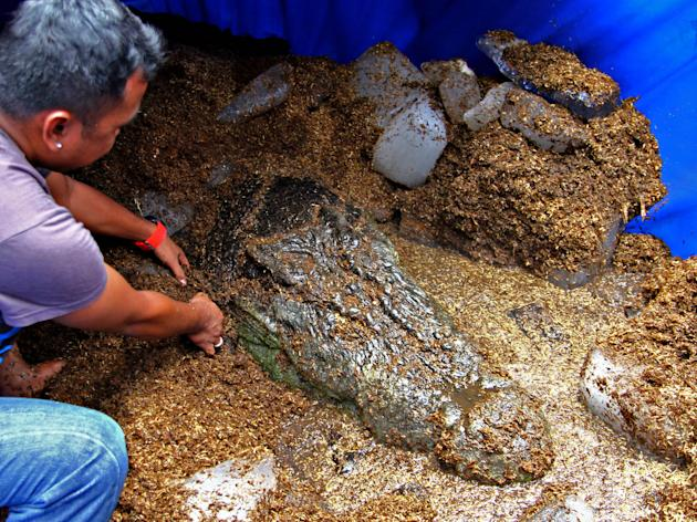 "A worker places blocks of ice around ""Lolong,"" the world's largest saltwater crocodile in captivity according to the Guinness World Records, as they wait for its autopsy Monday Feb. 11, 2013 at Bunawa"