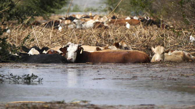 FILE - In this Aug. 30, 2012 file photo, cows are seen stranded in floodwater after Hurricane Isaac came through the region, in Plaquemines Parish, La. In August, ranches on the boot of Louisiana were speckled with cows and calves grazing on a smorgasbord of marsh grasses and flowers. But Hurricane Isaac took all that away, turning some of the best ranch land in Louisiana into a miles-long pond of blackish and foul-smelling floodwaters. Snakes, birds and a lot of the livestock raised here by a handful of ranching families drowned in Isaac's storm surge, which overwhelmed the weak levees protecting this farm country south of New Orleans.  (AP Photo/Gerald Herbert, file)