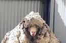 Un-Baaahlievable! Overgrown Sheep Gets Record-Breaking Haircut