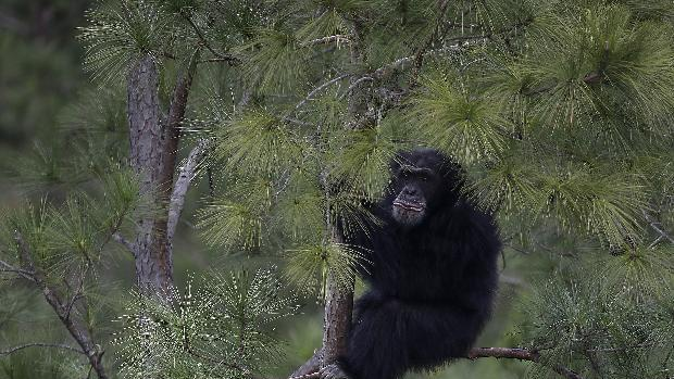 A chimp climbs a pine tree at Chimp Haven in Keithville, La., Monday, Feb. 18, 2013. One hundred and eleven chimpanzees will be coming from a south Louisiana laboratory to Chimp Haven, the national sanctuary for chimpanzees retired from federal research. (AP Photo/Gerald Herbert)