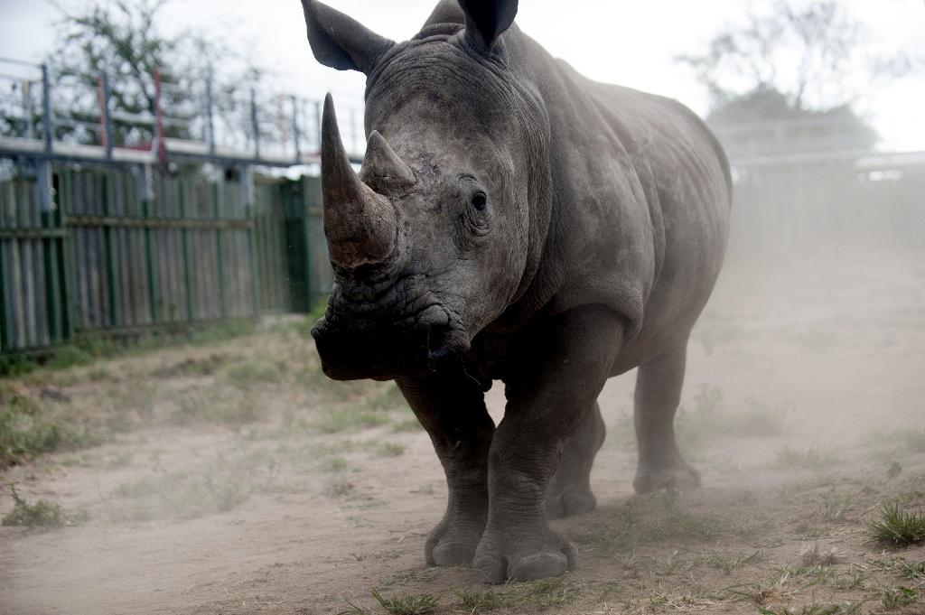 Growing numbers of rhinos poached for horns in South Africa: minister