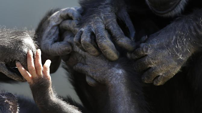 A baby chimp's hands, left, is seen touching the hands of other chimps at Chimp Haven in Keithville, La., Tuesday, Feb. 19, 2013. One hundred and eleven chimpanzees will be coming from a south Louisiana laboratory to Chimp Haven, the national sanctuary for chimpanzees retired from federal research. (AP Photo/Gerald Herbert)