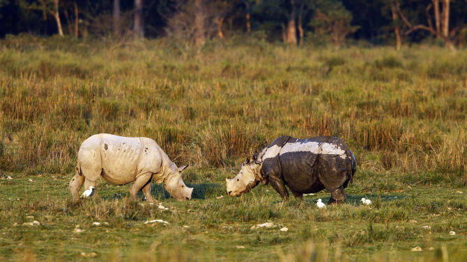 "In this Saturday, Dec. 1, 2012 photo, one-horned rhinoceroses graze inside the Kaziranga National Park, a wildlife reserve that provides refuge to more than 2,200 endangered Indian one-horned rhinoceros, in the northeastern Indian state of Assam. Even in this well protected reserve, where rangers follow shoot-to-kill orders, poachers are laying siege to ""Fortress Kaziranga,"" attempting to sheer off the animals' horns to supply a surge in demand for purported medicine in China that's pricier than gold. A number of guards have been killed along with 108 poachers since 1985 while 507 rhino have perished by gunfire, electrocution or spiked pits set by the poachers, according to the park. (AP Photo/Anupam Nath)"