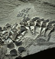 A fossil from China of an ichthyosaur mother giving birth. There are three embryos, including the one shown, which is exiting the mother headfirst.
