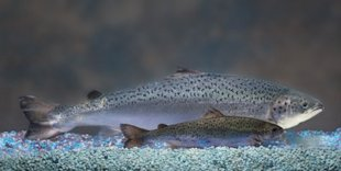An AquaBounty salmon compared to an Atlantic salmon of the same age. Photo courtesy of AquaBounty.