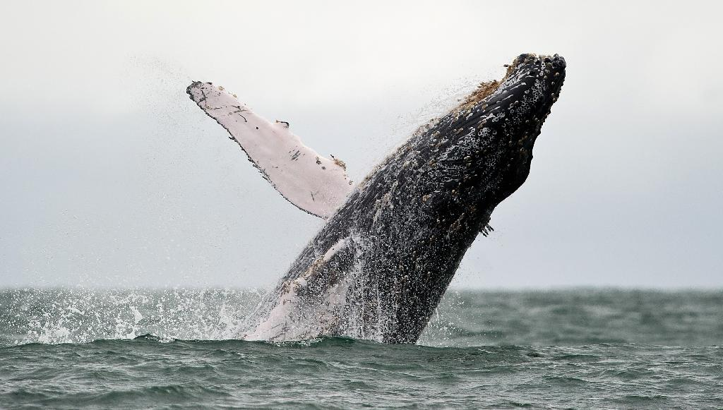 US says most humpback whales no longer endangered