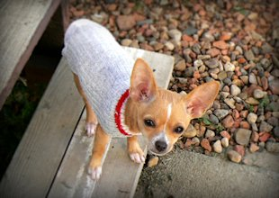 Chihuahuas make a lot of noise, alerting owners of possible intruders.