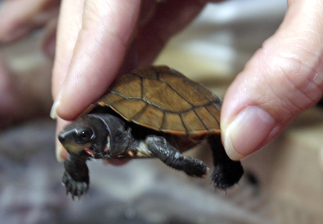 A smuggled rare pond turtle, only about 120 remain in the wild, is presented to the media upon arrival along with 17 others to their native Philippines from Hong Kong Friday, April 27, 2012 at Manila's international airport. A Philippine wildlife official said the smuggled 18 pond turtles were confiscated at the Hong Kong airport in February from a Chinese student, along with 13 more common box turtles. (AP Photo/Pat Roque)