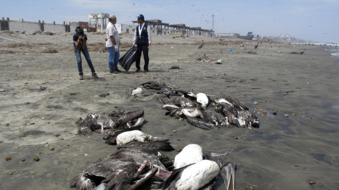 In this April 28, 2012 photo, health ministry workers stand by carcasses of a pelicans on the shore of Pimentel beach in Chiclayo, Peru. The pelicans, according to the Agriculture Ministry, are believed to be dying of starvation as unusually high water temperatures make scarce anchovetas, the fish in the anchovy family that is their primary food source.  (AP Photo/Nestor Salvatierra)