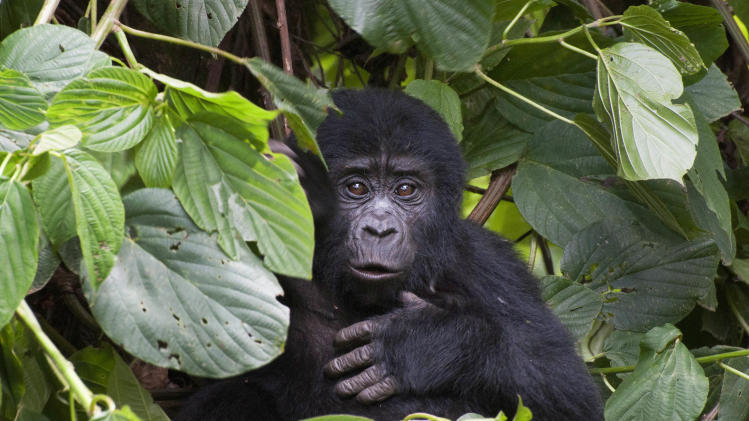 This photo taken Tuesday, April 19, 2011 and released by the conservation group Gorilla Doctors on Friday, Nov. 16, 2012, shows a mountain gorilla in Bwindi Impenetrable National Park in Uganda. The population of Uganda's mountain gorillas has grown to 400, up from 302 in 2006, according to a census conducted in 2011, bringing the total number of mountain gorillas in Africa to 880 and giving hope to conservationists trying to save the critically endangered species. (AP Photo/Gorilla Doctors)
