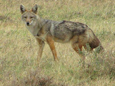 A golden jackal is seen in Serengeti National Park, Tanzania in this undated handout picture