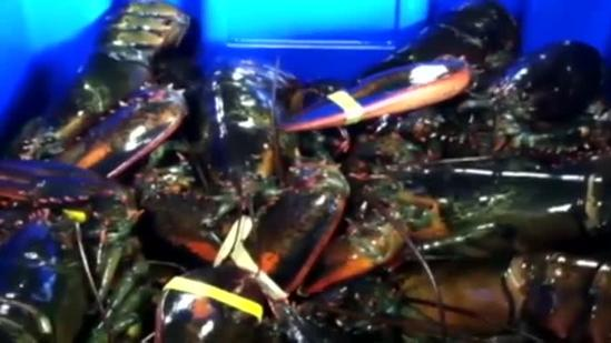 Cruise ships to serve Maine lobster