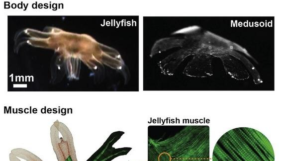 Swimming 'Jellyfish' Built out of Rat Cells & Silicone