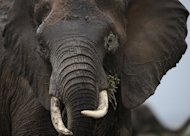 An elephant is pictured at the Amboseli game reserve, on December 30, 2012. Officials in the Kenyan port city of Mombasa have impounded more than 600 pieces of ivory, weighing two tonnes, they said Tuesday, the latest in a series of seizures by Kenyan authorities