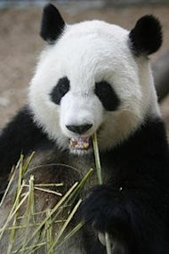 The Atlanta Zoo's Lun Lun is expecting her fourth cub (AP Photo/Journal Constitution, Vino Wong, File)