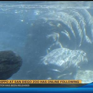 Long wait to see Baby hippo at San Diego Zoo