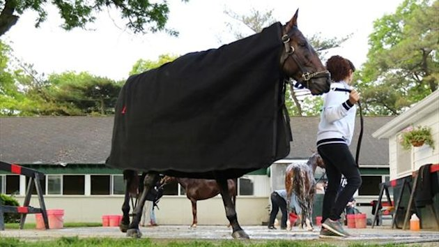 Kentucky Derby winner Orb is led to his stall after a morning workout at Belmont Park (AFP)