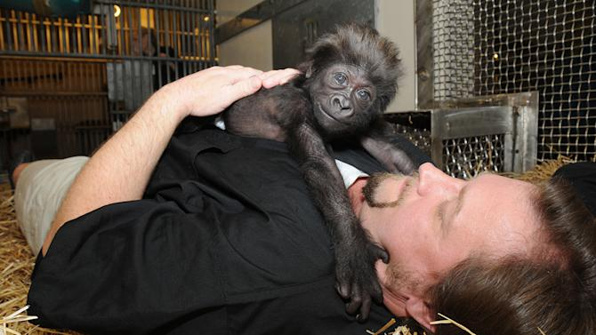 This photo provided by the Cincinnati Zoo on Friday, March 1, 2013, shows Ron Evans, Primate Center Team Leader at the zoo in Cincinnati, laying with a baby gorilla named Gladys the way a mother Western Lowland Gorilla would with her young. The baby gorilla was born Jan. 29 at a Texas zoo to a first-time mother who wouldn't care for her. Zoo workers and volunteers are acting as surrogate mothers to prepare the baby to be introduced to two female gorillas at the Cincinnati Zoo who might accept her. (AP Photo/The Cincinnati Zoo/David Jenike)