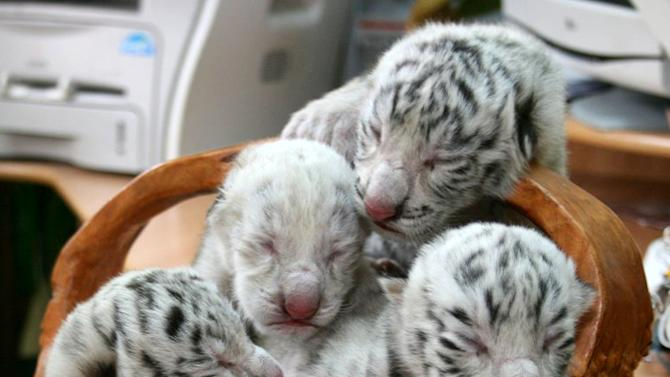 In this  photo provided by Skazka Zoo, taken May 6, 2012,  four white cubs, including a rare albino tiger are seen at  the Skazka Zoo in Yalta, Ukraine.  A beautiful white tigress was the symbol of Yulia Tymoshenko's presidential election campaign, representing her ferocious resolve.(AP Photo/Skazka Zoo)