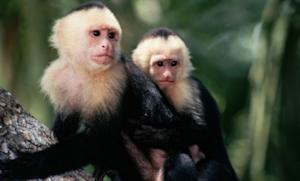 A British housewife claims that when she was about 5, she spent five years living as part of a pack of capuchin monkeys in a Colombian jungle.